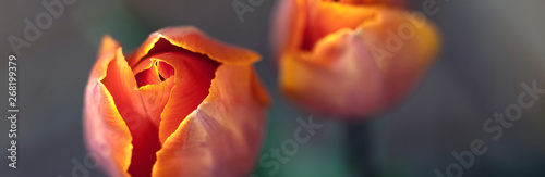 Keuken foto achterwand Tulp Orange tulip flowers - nature banner or panorama - close up, focus on left tulip, fading to background.
