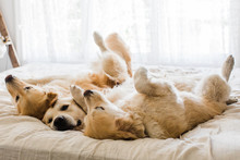 Three Dogs In Bed