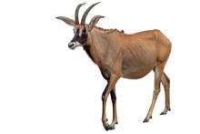Roan Antelope On White Background