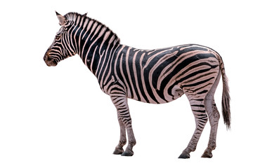 Zebra Isolated on White background.