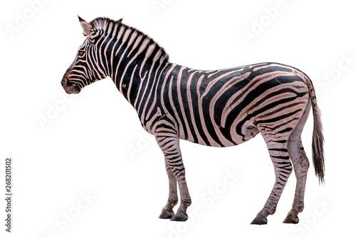 Spoed Foto op Canvas Zebra Zebra Isolated on White background.