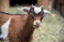 Fainting Goat Baby Closeup Por...