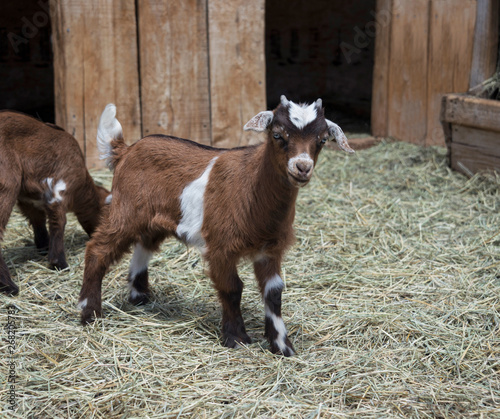 Fainting goat baby brown and white standing in barn yard hay