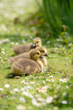 Fototapeta Na ścianę - little duckling in the grass