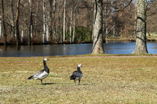 Two Canada Gooses Standing On ...