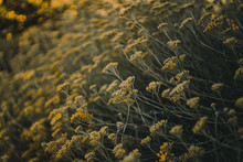 Details Of Achillea Filipendulina At Dusk