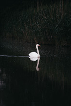 A Swan Swimming In Dark Waters