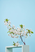 Blooming Cherry Branch In A Glass Transparent Jar, Standing On A Square Blue Frame On A Blue Background.
