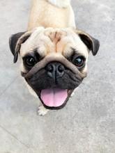 Close Up Portrait Of A Pug.