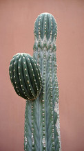 Tall Cactus In Front Of Pink W...