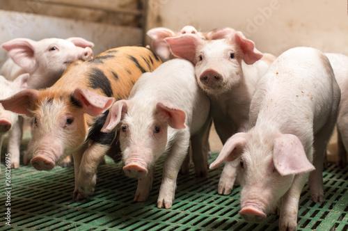 Fotografía Piglets playing in barn