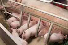 Piglets Suckling In Modern Pig...