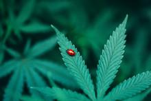 Canna Lady Bug