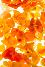 Orange Nasturtium Flowers