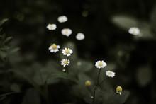 Closeup On White Chamomile Flower
