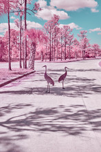 Sandhill Cranes Standing On Road
