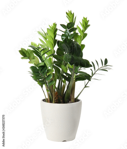 Pot with Zamioculcas home plant on white background Canvas