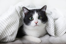 Bored Young Black And White Mixed Breed Cat Under Light Gray Plaid In Contemporary Bedroom. Pet Warms Under A Blanket In Cold Winter Weather. Pets Friendly And Care Concept.