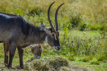Family Of Waterbuck Or Water Buck Antelopes In A South African Nature Reserve