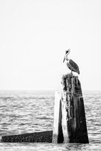 Black & White Pelican On Pier Piling