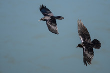 Two Common Black Ravens Flying...