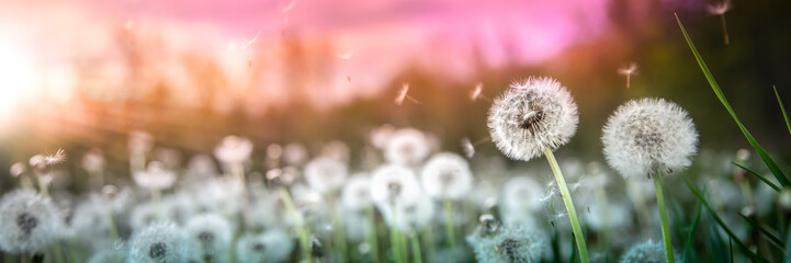 Banner Of Dandelions With Flying Seeds In Field At Sunset