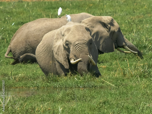 two elephants feeding together in a swamp at amboseli