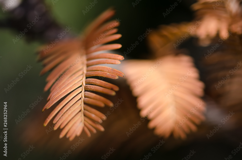 Fototapety, obrazy: The Golden Needles of the Dawn Redwood in Autumn