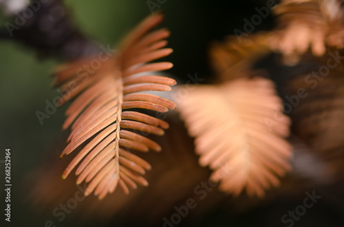 Photo  The Golden Needles of the Dawn Redwood in Autumn