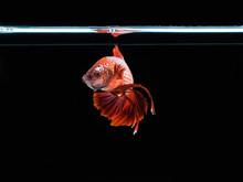 Betta Fighting Fish Of Thailand