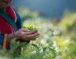 Leinwanddruck Bild - Fresh tea leafs in woman's hand, at tea garden
