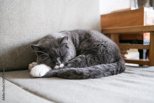 Fototapety, obrazy: Cute british shorthair sleeping on the couch
