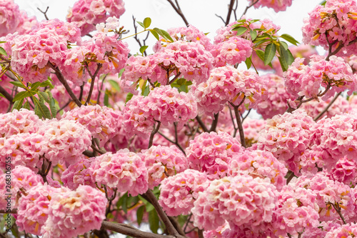 Foto auf Leinwand Rosa Lovey Pink flower and tree branch blur nature background