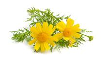 Cota Tinctoria, The Golden Marguerite, Yellow Chamomile, Or Oxeye Chamomile. Isolated