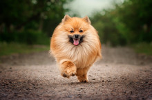 Ginger Spitz Fun Fluffy Dog ​​walk Through The Park
