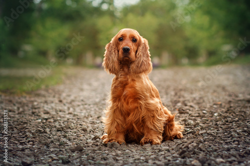 Cadres-photo bureau Chien english cocker spaniel dog redhead portrait at sunset