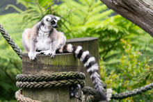 Ring-Tailed Lemur With View Of...