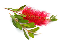 Flowering Red Melaleuca, Paperbarks, Honey-myrtles Or Tea-tree, Bottlebrush. Isolated On White Background