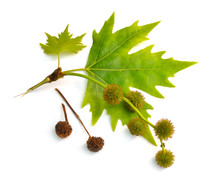 Leaves And Fruit Of Platanus. Planes Or Plane Trees. Isolated On White Background