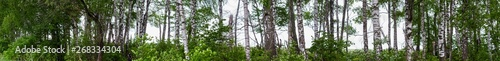 Panorama of a fragment of a green birch grove. Good as a background or banner