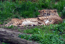 Cheetah Leopard Couple Portrait While Hugging