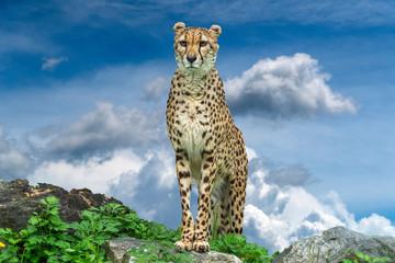 Cheetah leopard portrait