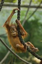 Newborn Sumatran Orangutan (Po...