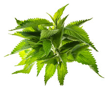 Common Nettle, Stinging Nettle - Urtica Dioica, Close Up
