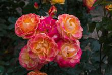 Splendide Rose Con Sfumeture R...