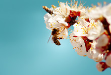 Bee Collects Nectar On The Flowers Of The Apricot Tree Against The Acvamarin Background.