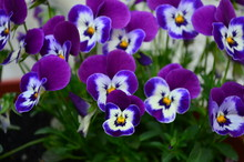 Lovely Colored Pansy Flowers I...