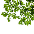 green tree branch isolated on white