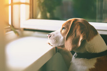 Cute Beagle Dog Looking Out An Open Window Waiting For His Owner