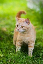 Cute Red Cat Hunting In Grass Chasing Bird